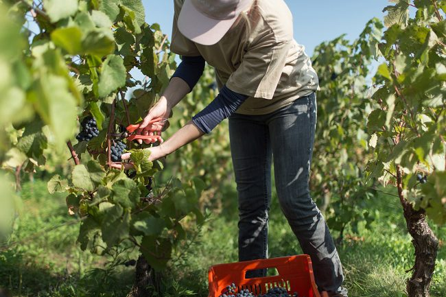 Cadelbosco_Curtafranca-vite-raccolta-uva