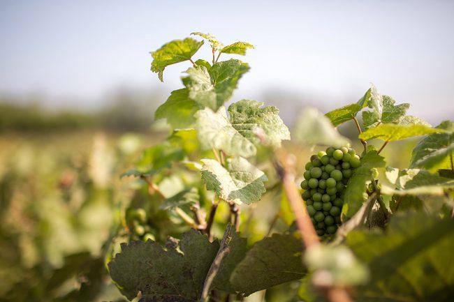 Cadelbosco_Franzacurta-vite-uva