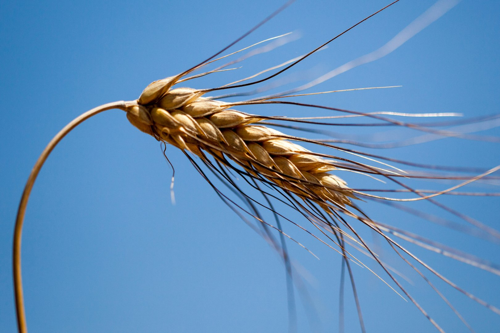 spiga di grano del pastificio mancini