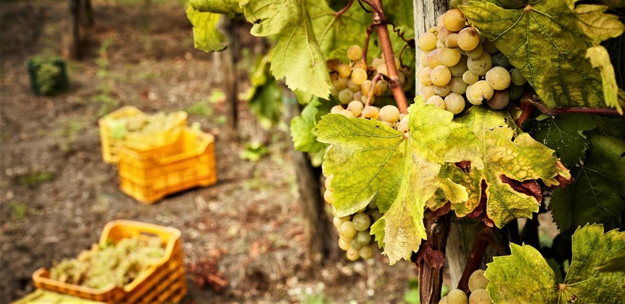 casa setaro vigne