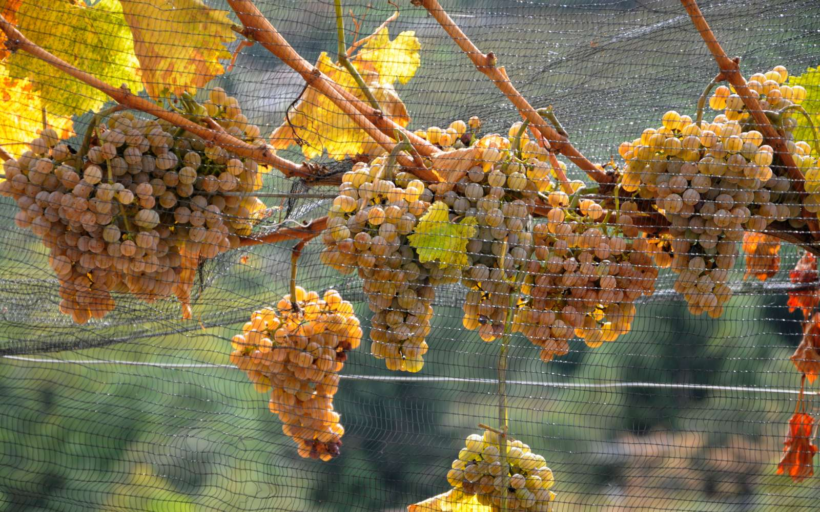 grappoli di uva bianca pronta per il passito